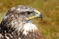 Free Red Tail Hawk Royalty Free Stock Photos - 6309378
