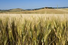 Free TUSCANY Countryside, Close-up On The Spikes Royalty Free Stock Image - 6309626