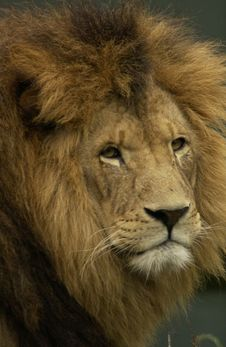 Free Portrait Of Lion Stock Photography - 6309762
