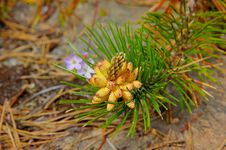 Free Blooming Pine Stock Images - 6309914