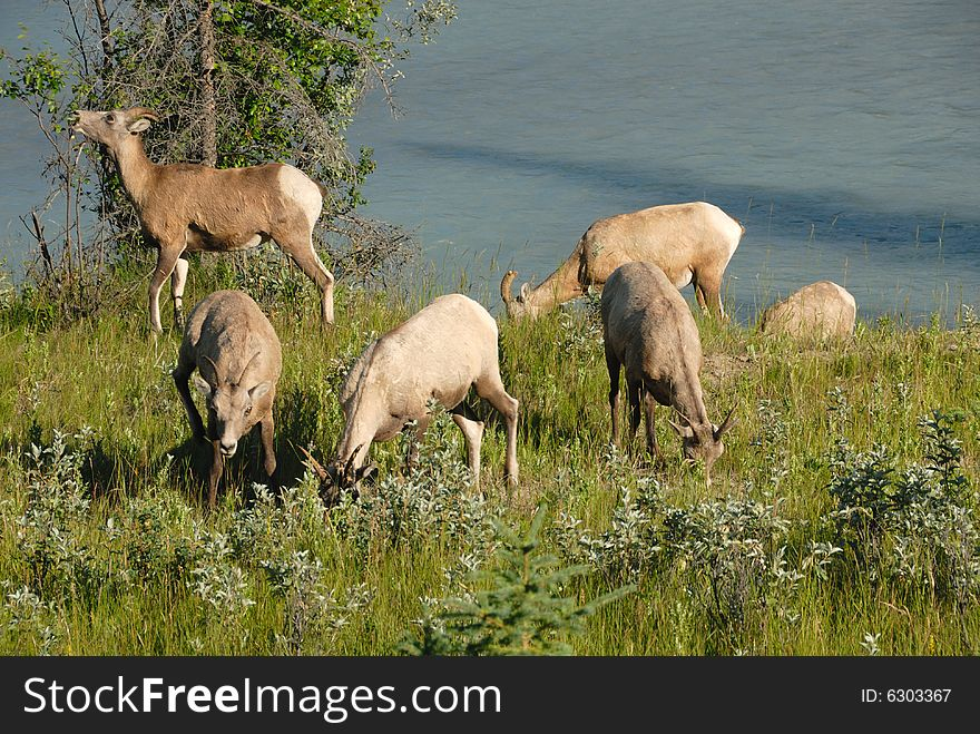 Bighorn sheep grazing, Jasper National Park