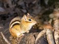 Free Eastern Chipmunk On A Log Royalty Free Stock Photos - 63079968