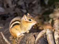 Eastern Chipmunk On A Log Royalty Free Stock Photos