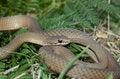 Free White Lipped Snake Stock Image - 6311391