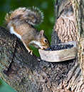 Free Gray Squirrel Stock Photo - 6315540