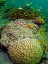 Free French Grunst And Brain Coral Stock Images - 6315964
