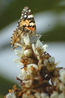 Free Painted Lady Butterfly Royalty Free Stock Photos - 6310618