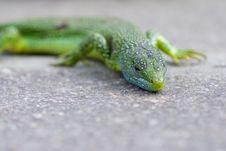 Lizard Closeup Stock Image