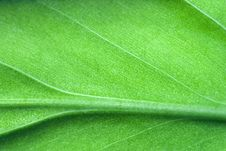 Free Leaf Detail Royalty Free Stock Photography - 6310717
