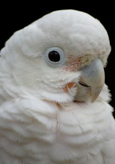Free Cockatoo Royalty Free Stock Images - 6310799