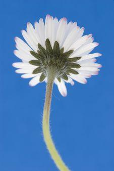 Free White Daisy Stock Photos - 6310823