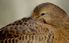 Free Eider Duck Royalty Free Stock Images - 6311079