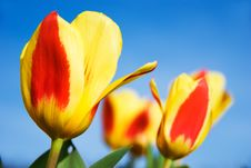 Free Colorful Tulips Stock Image - 6311261