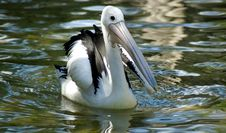 Pelican Swimming In Water Stock Photography
