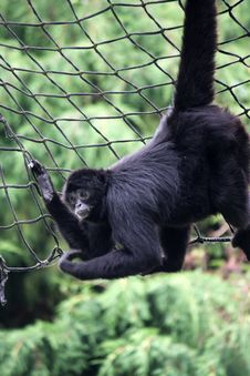 Free Animal Spider Monkey Stock Image - 6311681