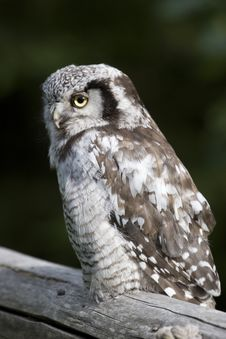 Free Gray Owl Royalty Free Stock Images - 6311689