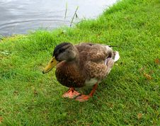 Free Duck On The Grass Royalty Free Stock Images - 6312269