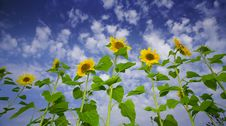Sunflowers And Sky Stock Images
