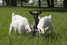 Free Baby Goats Royalty Free Stock Image - 6312886