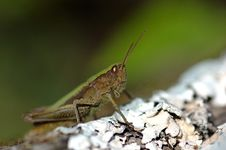 Free Eye - Grasshopper Royalty Free Stock Photography - 6312937