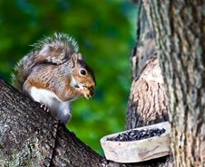 Free Gray Squirrel Royalty Free Stock Photography - 6315527