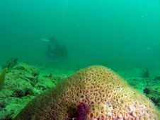 Star Coral And Diver Stock Image