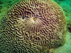 Free Brain Coral Royalty Free Stock Photo - 6316015