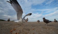 Super Close Seagull Royalty Free Stock Image