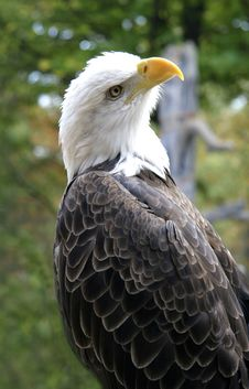 Free The American Eagle Stock Photography - 6316452