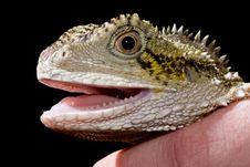 Free Lizard On Black Royalty Free Stock Photo - 6316525