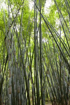 Free Bamboo Royalty Free Stock Photo - 6316545