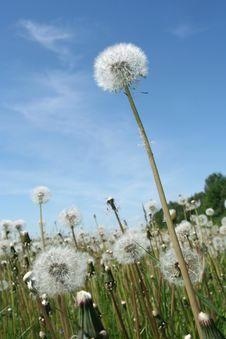 Free Dandelion In The Afternoon On A Background Of The Stock Image - 6317201