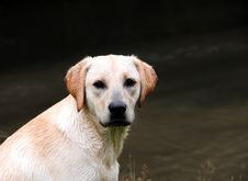 Free Cute Puppy Labrador Royalty Free Stock Images - 6317799
