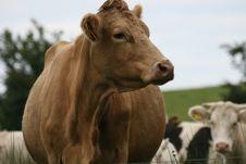 Free Irish Cows Royalty Free Stock Photo - 6318015