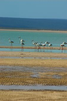 Free Flamingoes Royalty Free Stock Photography - 6318227