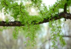 Green Conifer Branchlets. Royalty Free Stock Photo