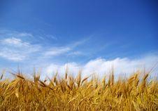 Free Wheat Field Royalty Free Stock Photos - 6319058