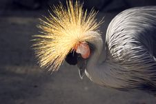 Free Crested Crane Stock Photo - 6319510