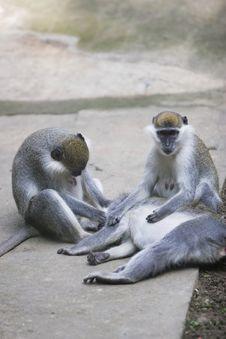 Free Monkey Royalty Free Stock Photography - 6319997