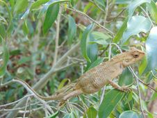 Free Common Garden Lizard (Sri Lanka) Calotes Versicolor Stock Images - 63190284