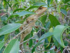 Free Common Garden Lizard (Sri Lanka) Calotes Versicolor Stock Photography - 63190302