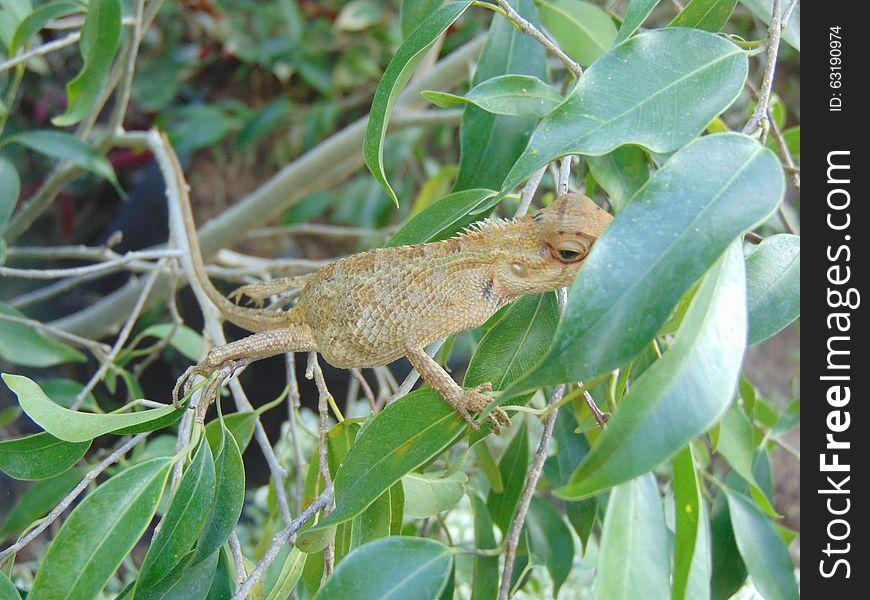 Common Garden Lizard (Sri Lanka) Calotes versicolor