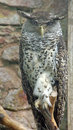 Free Forest Eagle Owl Royalty Free Stock Photos - 6327408