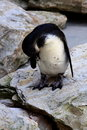 Free Cute Pinguin Cleaning Himself Royalty Free Stock Photos - 6328118