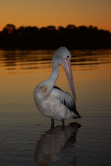 Free Pelican Posing Royalty Free Stock Images - 6320319