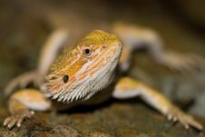 Free Bearded Dragon Stock Images - 6320444