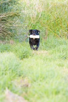 Free Working Black Labrador Retriever Stock Photography - 6321432