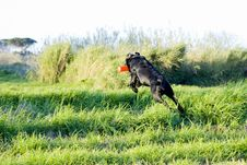 Free Working Black Labrador Retriever Stock Images - 6321484
