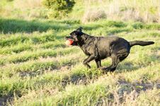 Free Working Black Labrador Retriever Stock Photos - 6321603