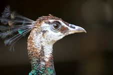 Free Feather Of Peacock Royalty Free Stock Images - 6321989